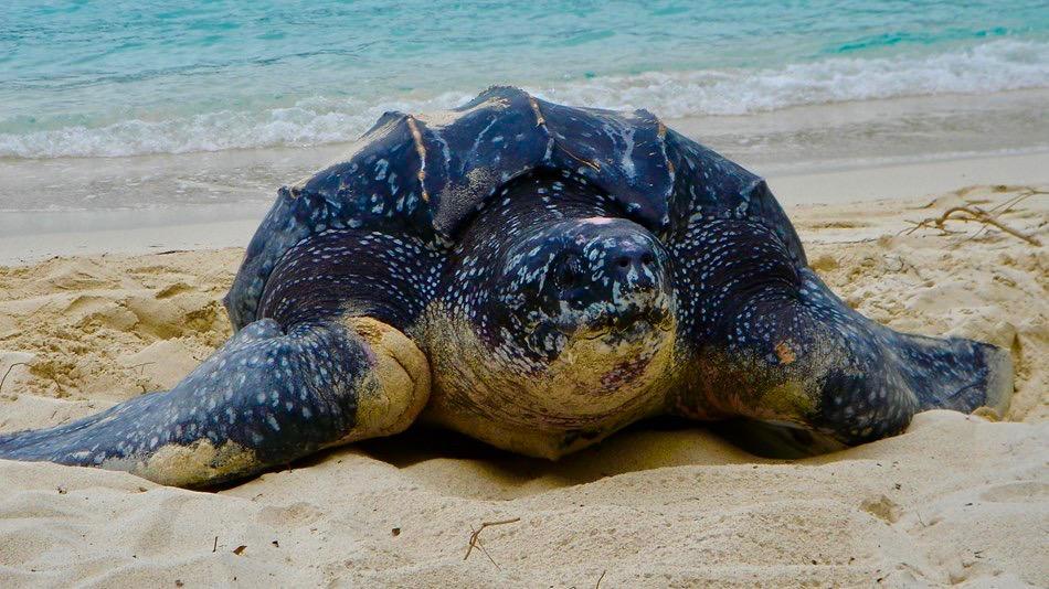 National park st john leatherback sea turtle calabash