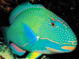 large-parrotfish