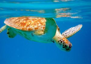 Sea turtles St. John VI